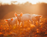 Happy piglets playing in leaves at sunset - 142325015