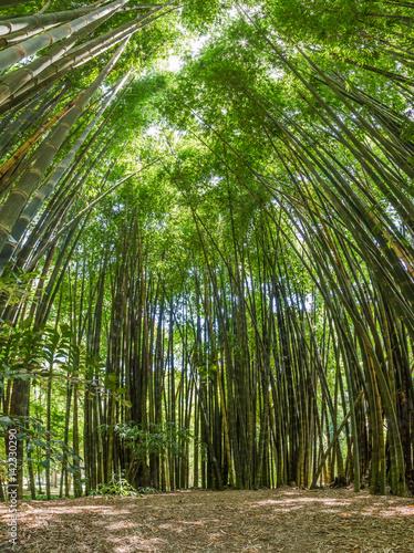 Bambus in Brasilien (bot. Garten)