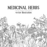 Fototapety Card template with vintage sketches of medicinal herbs and flowers