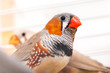 The zebra finch.