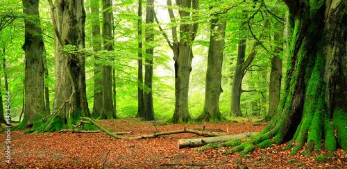 Naturnaher Wald, riesige knorrige Buchen, mit Moos bedeckt