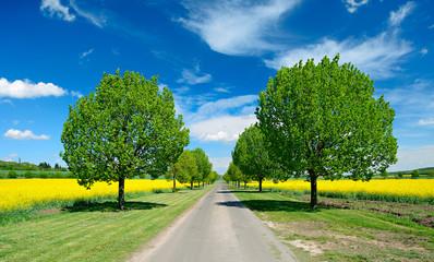 Lindenalle durch Rapsfelder unter blauem Himmel im Frühling