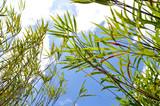 leaf bamboo blue sky