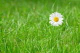 Chamomile flower on grass field