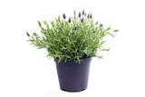 Lavendelpflanze im Topf freigestellt
