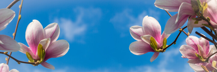 Magnolienblüten vor blauem Himmel, Panorama