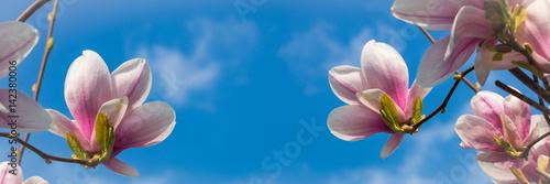 Magnolienblüten vor blauem Himmel, Panorama - 142380006