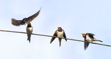 the bird is the swallow flew in to feed their young on wires on blue sky background - 142383817