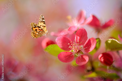 Beautiful red cherry blossom and a butterfly. Spring background