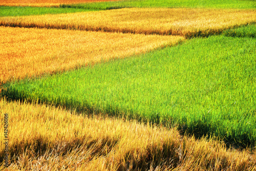 Beautiful rice fields at different stages of maturity