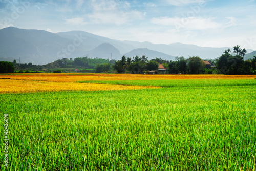 Scenic colorful rice fields. Various phases of rice cultivation