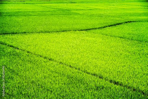 Bright green rice fields in summer