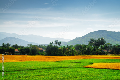 Various phases of rice cultivation. Colorful rice fields