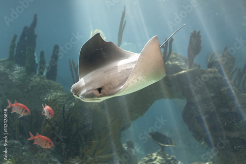 Poster Skate fish swimming in water. Rays of light, blue water