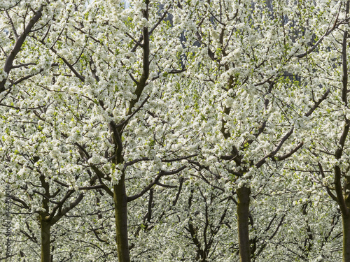 Blühende Obstbäume im Frühling Poster