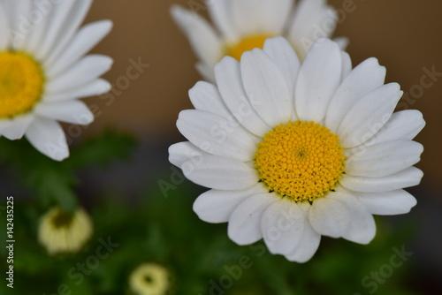 Poster 菊の花