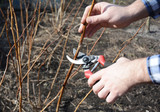 Farmer hand cutting red raspberry plant bush with bypass secateurs. - 142439407