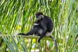 Purple-faced langurs, moter and baby, sitting on a coconut palm tree in natural habitat in Sri Lanka.
