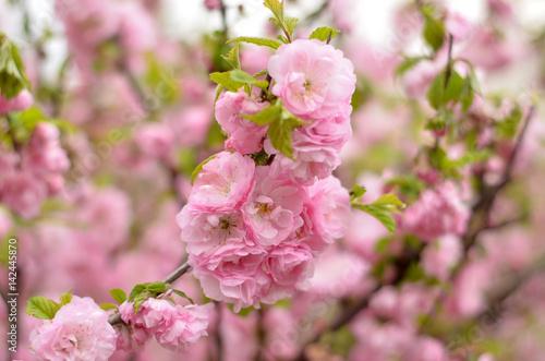 Poster Almond blossoms (Prunus triloba Plena). Flowers closeup