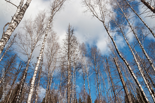 Bare birches in spring time