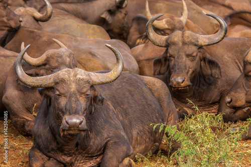Cape Buffalo- South Africa