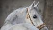 Gray arabian horse head closeup