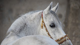 Gray arabian horse head closeup - 142504273