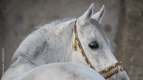 Gray arabian horse head closeup