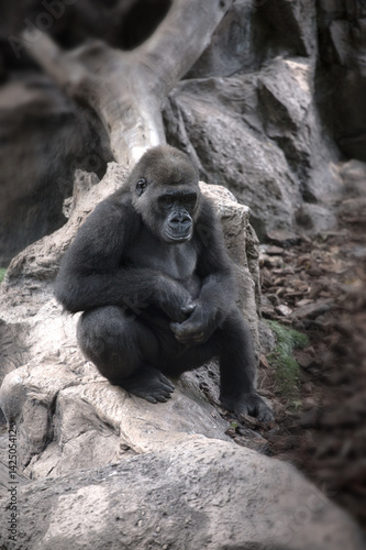 Poster gorilla sitting on a rock