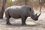 sénégal rhino