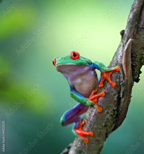 Aluminium Kikker Red eyed tree frog, Agalychnis callydrias ready to jump. A tropical animal from the rain forest of Costa Rica