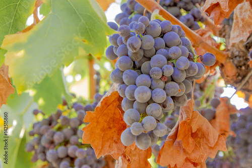 Weintrauben zur Weinlese Poster