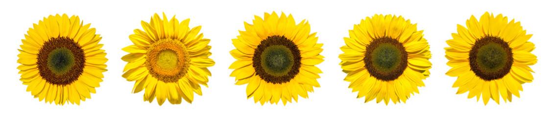 Sonnenblumen als Panorama Hintergrund