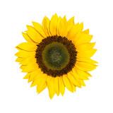 Helianthus Sonnenblume isoliert vor weißem Hintergrund