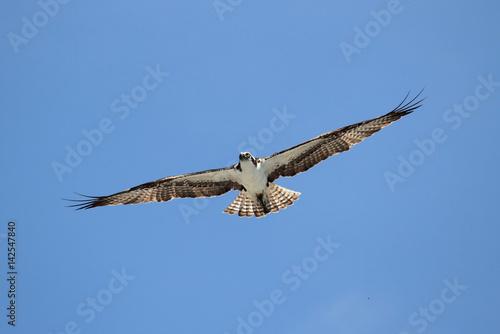 Poster Osprey (pandion haliaetus)