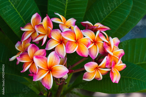 Fotobehang Plumeria Plumeria flowers, natural tree