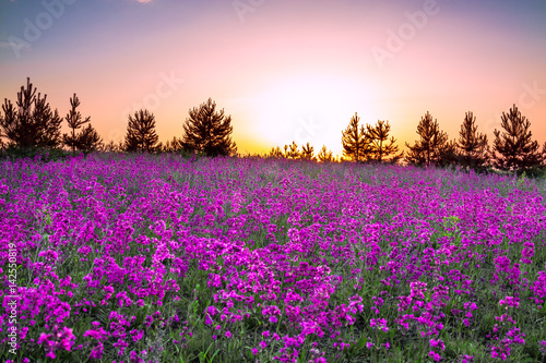 Foto op Aluminium Lichtroze summer rural landscape with purple flowers on a meadow