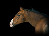 Portrait of red horse with white line on face on black background