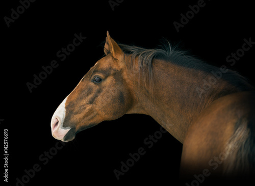 Poster Portrait of red horse with white line on face on black background