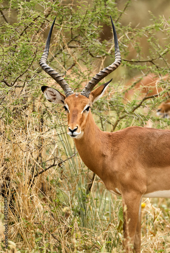 Poster Male impala portrait