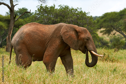 Poster African Elephant in the savanna
