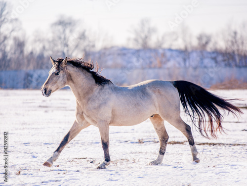 Poster Free beautiful horse enjoys snow and sun in winter