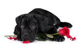 Cute Puppy Italian Cane Corso with flowers on a white background