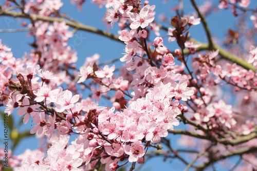 Poster blühender Mandelbaum im Frühling