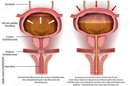 GamesAgeddon - Anatomie der Harnblase, Harndrang vector illustration ...