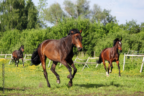 Poster Brown horse running home in the summer day
