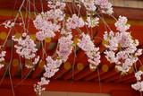 しだれ桜と神社 京都