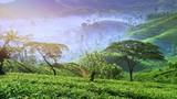 Nuwara Eliya tea plantation in Sri Lanka. Beautiful rural countryside nature with fog and mist in valleys at morning. Amazing panorama background - 142654690