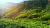 Beautiful tea plantation landscape of green valleys under morning sun. Sri Lanka - 142654880