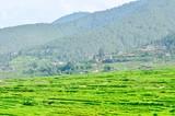 Terraced Rice Fields in Punakha, Bhutan